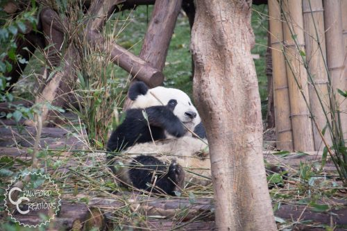 Meeting Pandas in Chengdu