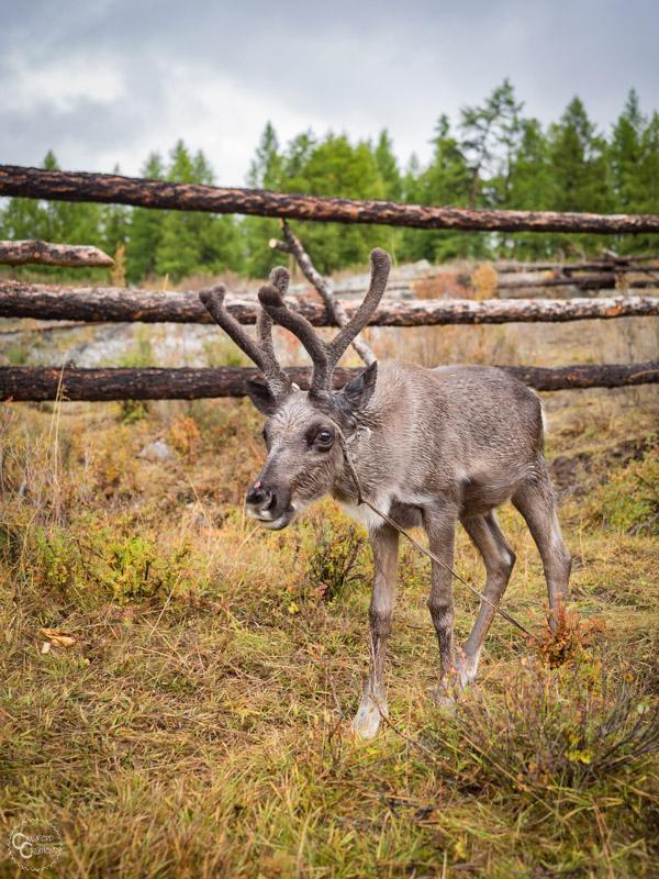 tsaatan-reindeer-mongolia