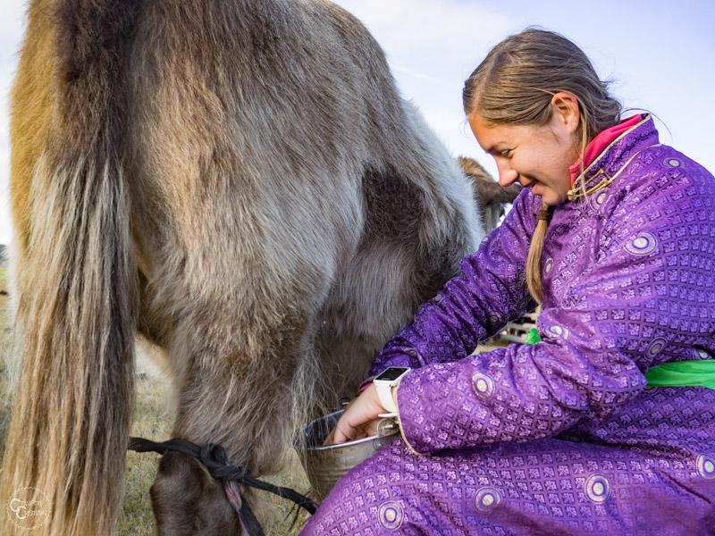 milking-yaks-mongolia